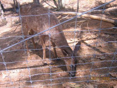 MWP Deer1